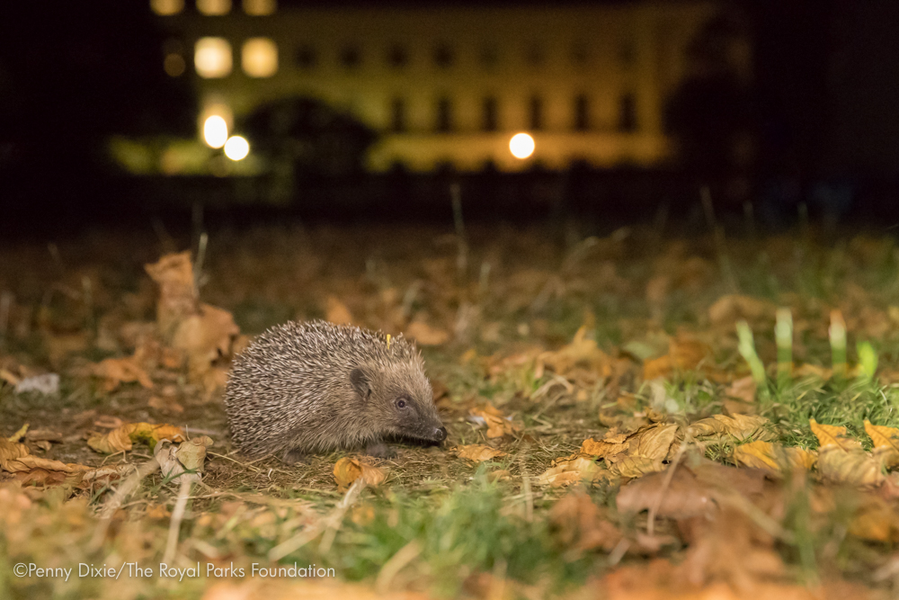A hedgehog in the Regent's Park. Credit: Penny Dixie